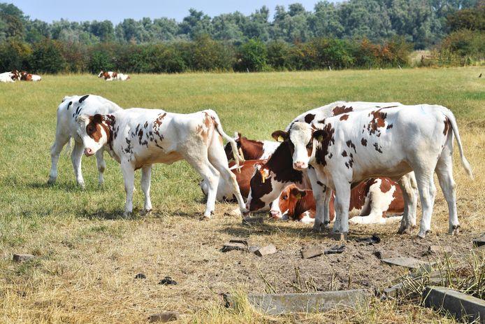 Koeien in de zon/hitte in weiland Ooijpolder.