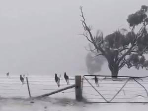 Les images étonnantes de kangourous sous la neige en Australie