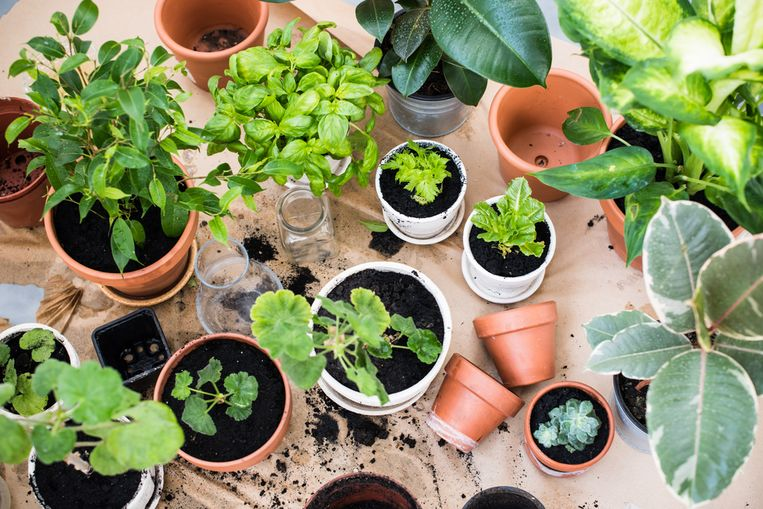 Van één pot peterselie of basilicum maak je twintig kleine plantjes