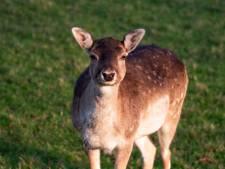 Loslopend hert op straat in Rotterdam-Zuid: 'Wij gaan Bambi terugbrengen'