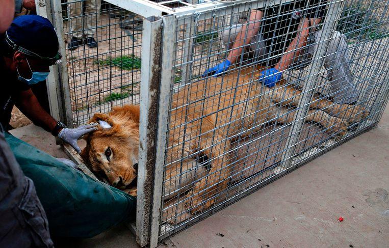 Simba de leeuw tijdens de evacuatie Beeld AFP