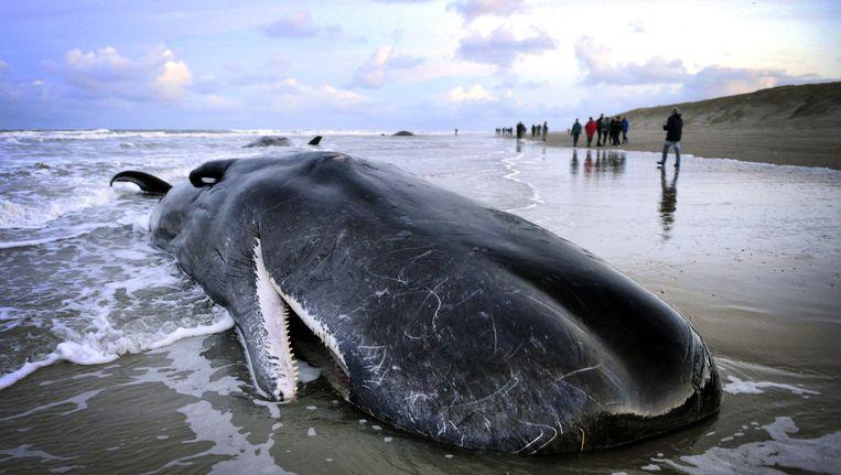 Een dode potvis op het strand van Texel. Beeld ANP
