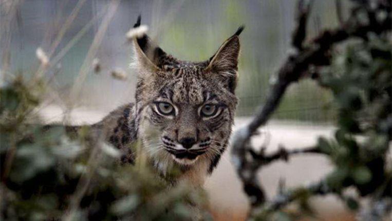 Een Iberische lynx. (EPA) Beeld