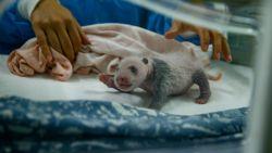 Amper 16 dagen oud maar immens schattig: zo ziet de babypanda in Pairi Daiza er nu uit