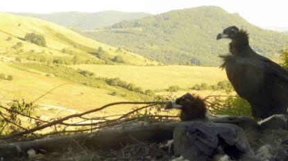 Planckendael herstelt gierenpopulatie in Bulgarije