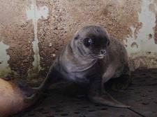 Derde zeeleeuw geboren in Artis
