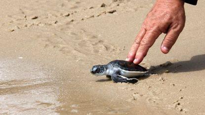 """""""Toch iets positief van die hele COVID-situatie"""": schildpadjes hebben de plek van toeristen ingenomen op Thaise stranden"""