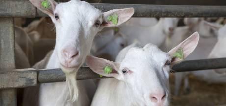 Gemeente Maasdriel: 'we kunnen vergunning voor geitenstal niet intrekken'