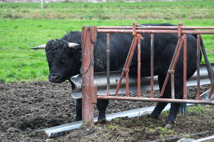 Stier bekneld in weiland Lithoijen