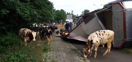 Stieren op de weg na ongeluk met veewagen