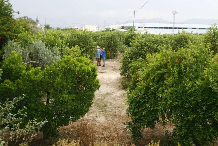 De citroenboomgaard waar de lichamen werden gevonden. Beeld afp