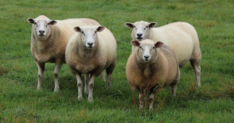 De politie zoekt de eigenaar van de schapen die steeds ontsnappen in de Edestraat in Mere.