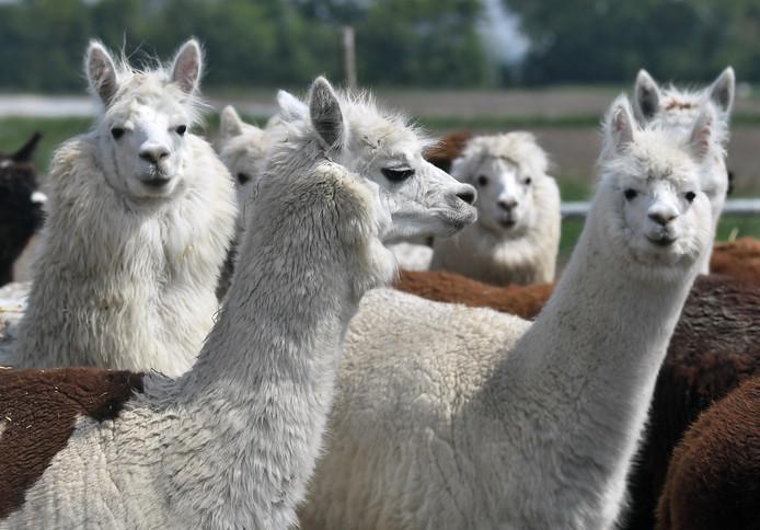De alpaca's van Hof Nieuwerve in Ritthem doneren hun wol.