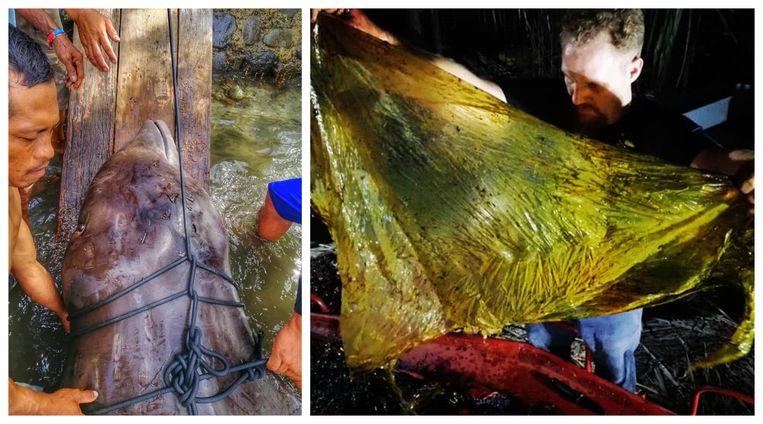 Onderzoekers troffen liefst 40 kilo plastic zakken aan in de maag van deze dolfijn van Cuvier.
