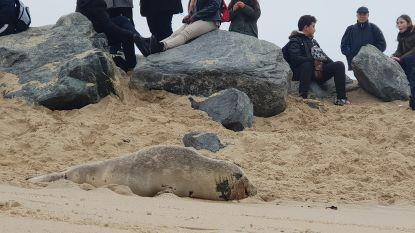 """Sea Life en politie overstelpt met meldingen van zieke zeehonden tijdens paasvakantie: """"Op één dag 100 oproepen over zelfde dier, dat lag te rusten"""""""