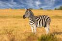 Een echte zebra.