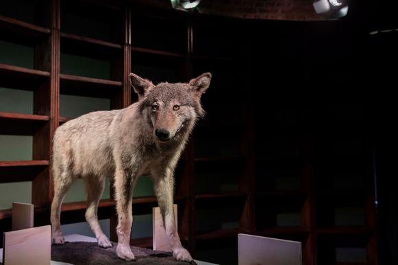 De opgezette wolf Roger is de blikvanger van de tentoonstelling.