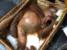 Bagagecontrole haalt levende orang-oetan uit reiskoffer