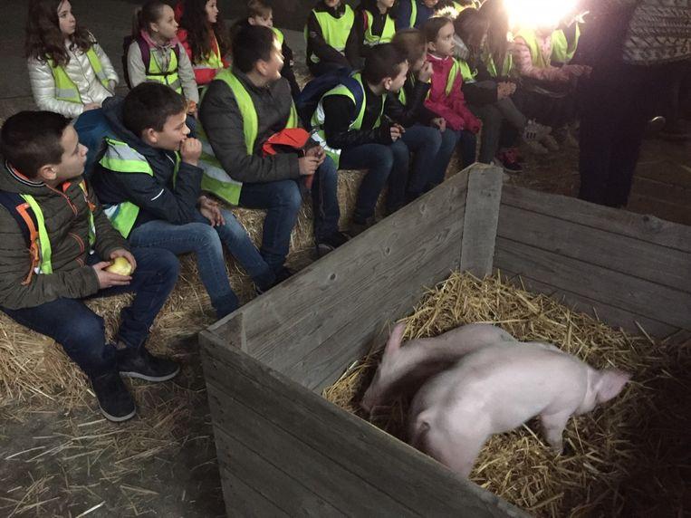 Een boerin vertelt hoe varkens geteeld worden.
