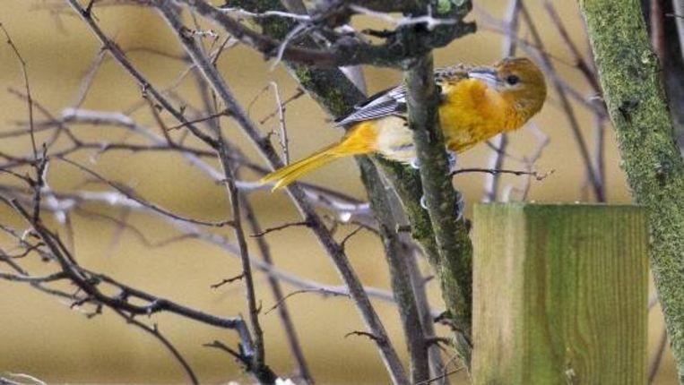 De baltimoretroepiaal heeft oranje-gele en zwarte veren en een puntige, scherpe snavel. ( ANP) Beeld