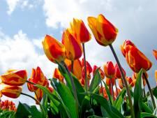 Den Haag is voorbeeld met bio-bloembollen