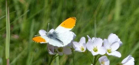 Kieskeurige vlinder krijgt het steeds moeilijker