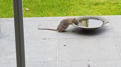 """Rattenplaag teistert Zoersel: """"Op klaarlichte dag trippelen ze over mijn terras"""""""