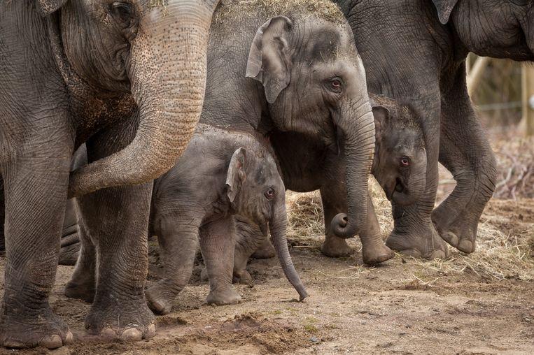 De olifanten van Planckendael, met de kleintjes Suki en Tun Kai