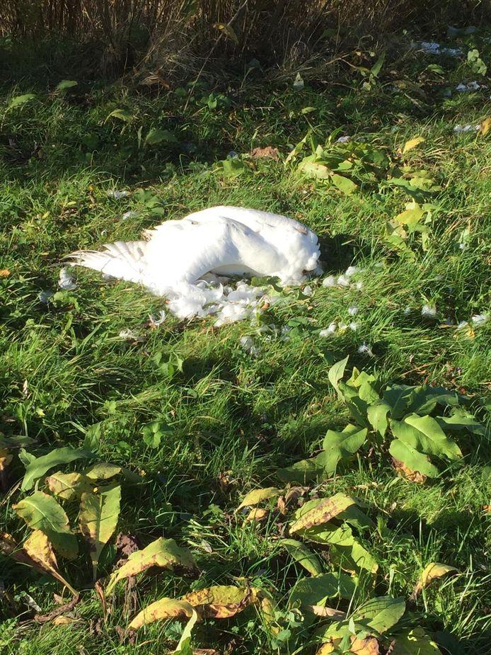 Een dode zwaan in het Bentwoud.