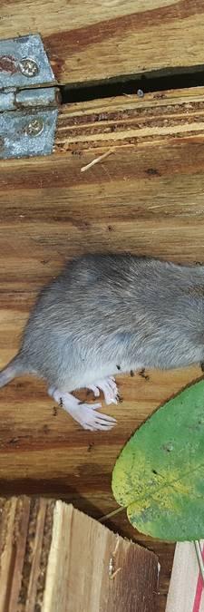 Raadslid Waalre start actie 'Meld een rat'