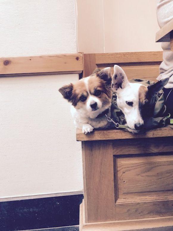 De Chihuahua Pebbels (links) voor het bijtincident.