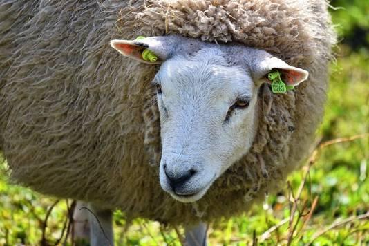 Een schaap met een oormerk.