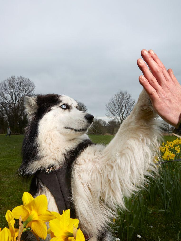Iris (2), Siberische husky, Watergraafsmeer. Beeld Isabella Rozendaal