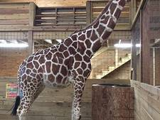 Duizenden wachten al dagenlang in spanning op live geboorte giraffe