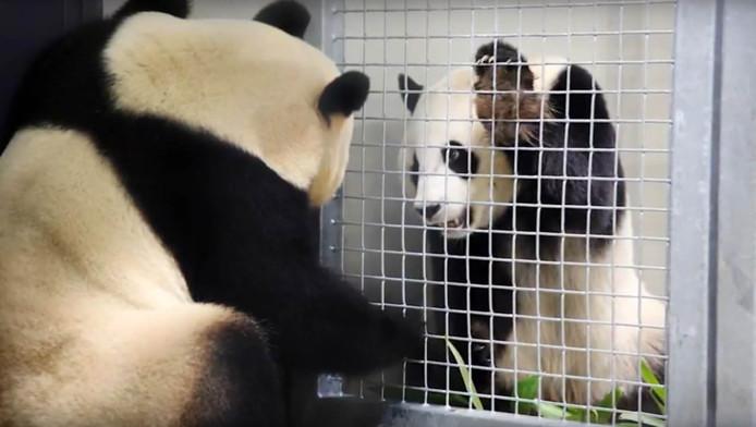 De reuzenpanda's maken kennis met elkaar.