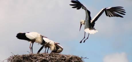 Kraamverzorgende en gefascineerd door ooievaars; Leontien legt de vogels vast