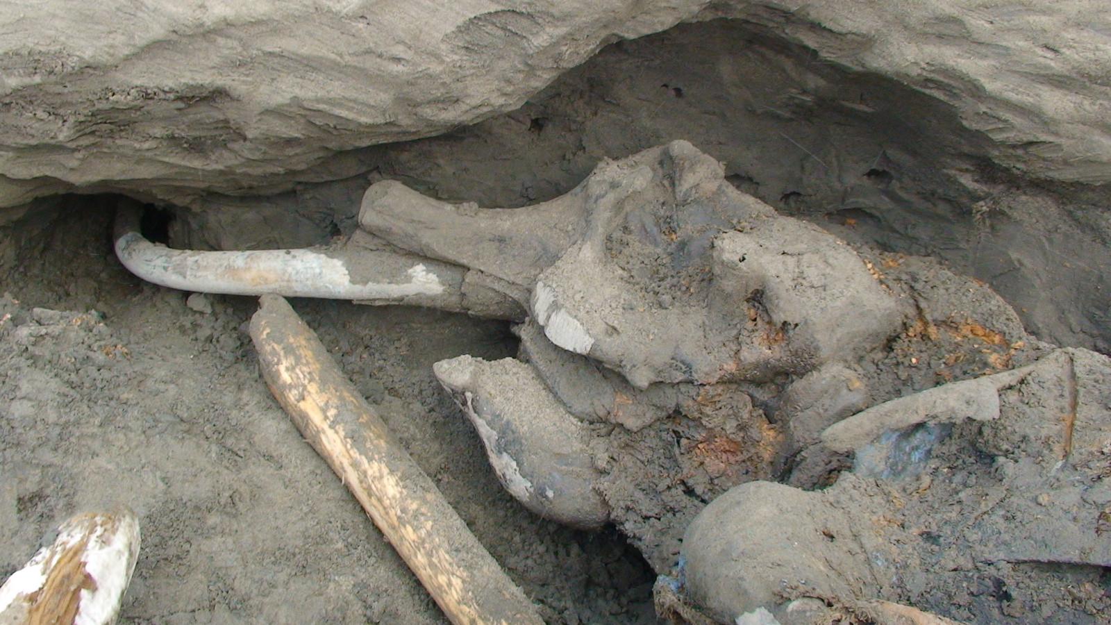 De in Rusland gevonden mammoet is volgens wetenschappers een van de best bewaarde exemplaren ter wereld.