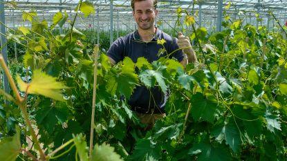 Terwijl steeds meer druiventelers in Druivenstreek ermee stoppen, wil Brecht (23) grootste serre van het land bouwen