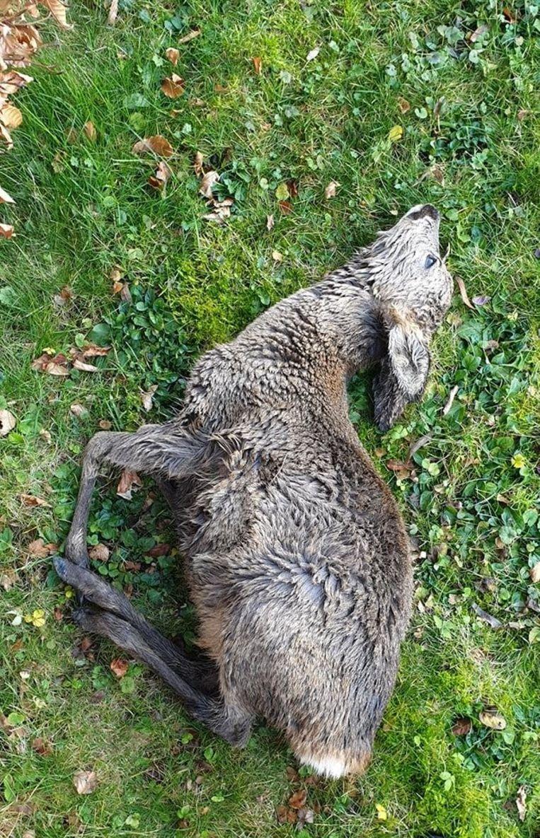 Reyniers vond vorige week in haar tuin ook een overleden hertje.