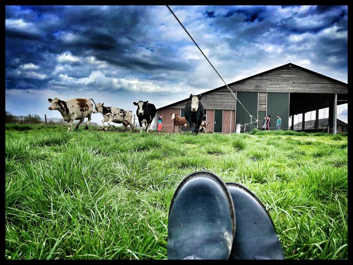 Koeien dansen de Kekerdomse wei in.  Foto Brenda Nieborg