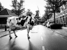 Woerdense koeienfoto's eenmalig te koop