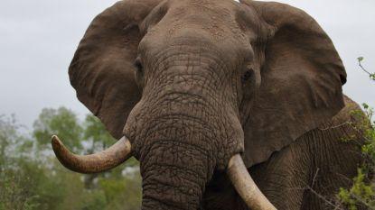"""Stroper """"gedood door olifant en opgegeten door leeuwen"""" in Zuid-Afrika"""