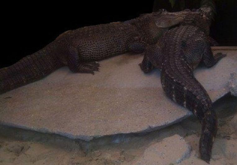 De krokodillen die het geld bewaakten. Beeld Politie