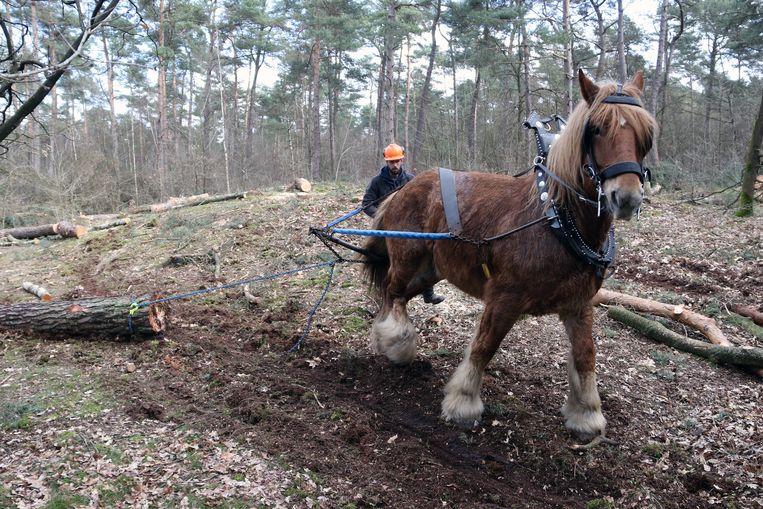 Eén van de boerenpaarden sleept een boom weg.