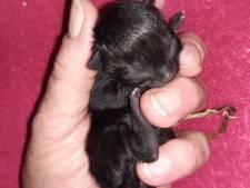 Kitten die uit buik van overleden moeder werd gered,  overleeft hachelijk avontuur tóch niet