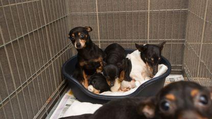 151 honden in beslag genomen in illegale kwekerij in Luik