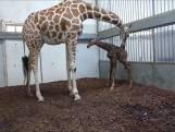 Zo komt dit girafje ter wereld in dierentuin Artis