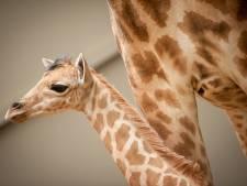 """Belle avancée en faveur de la protection des girafes, menacées d'""""extinction silencieuse"""""""
