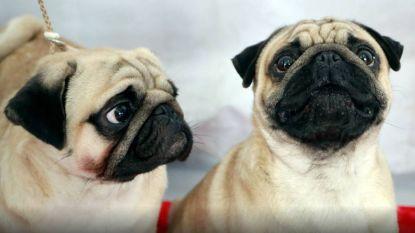 """Dodelijke hondenziekte bij Duitse grens geconstateerd: """"Je hond vaccineren is de boodschap"""""""