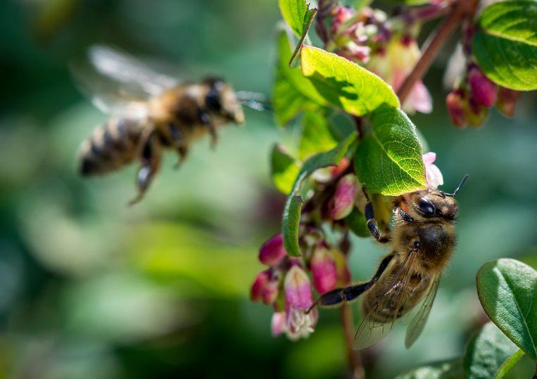 Insecten zijn belangrijk voor de bestuiving van planten, maar aan hun bescherming wordt nog weinig gedaan. Beeld ANP XTRA